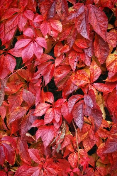 Stampe artistiche, quadri e poster con autunno, colori naturali, foglie, piante - Foglie rosse