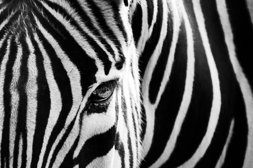 Stampe artistiche quadri e poster con animale astratto for Dipinti moderni bianco e nero