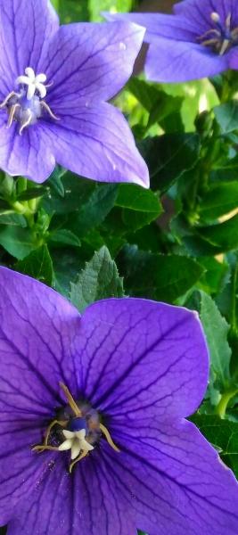 Fiori Viola.Stampe Artistiche Quadri E Poster Con Colori Fiori Da Giardino