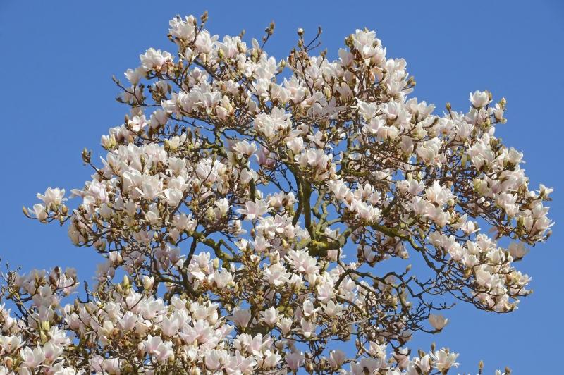 Fiori Bianchi Albero.Wall Art Canvas Print And Poster Of Albero Di Magnolia In Fiore