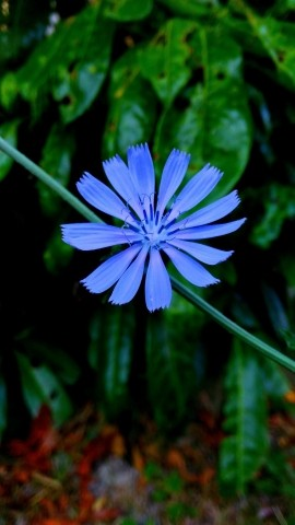 chicory....in the garden