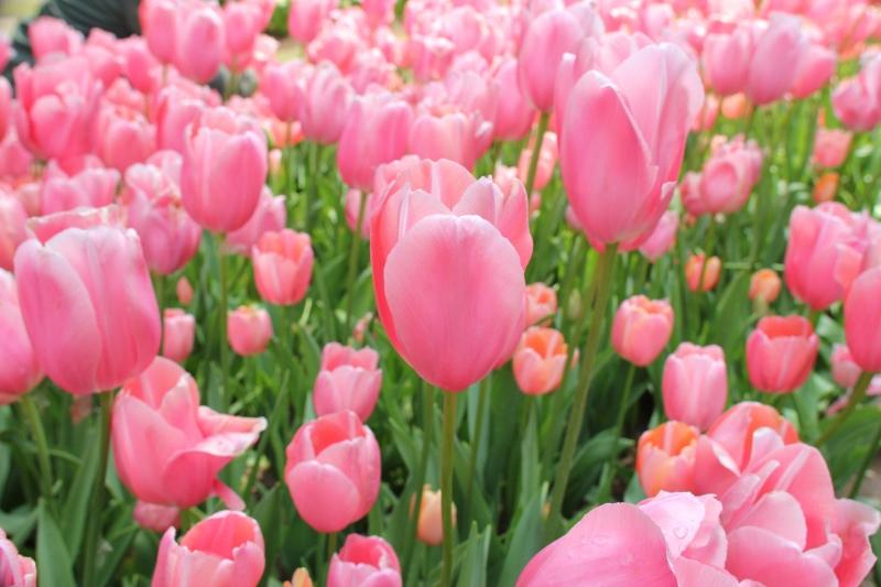 Stampe artistiche, quadri e poster con fiori, fioritura, parco, rosa ...