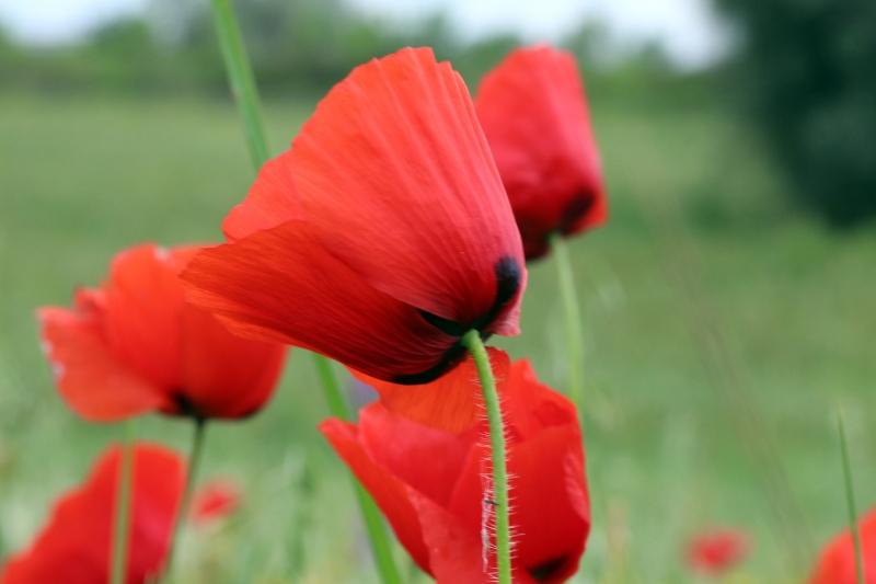 Stampe artistiche quadri e poster con campo fiori for Quadri con papaveri rossi