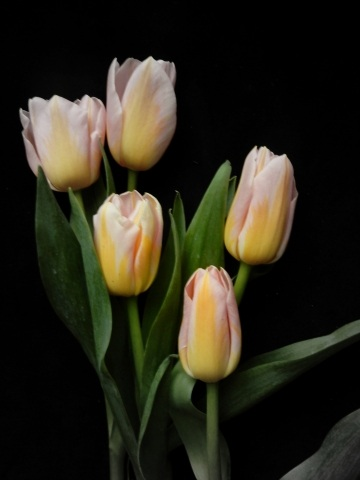 Tulipes flamandes