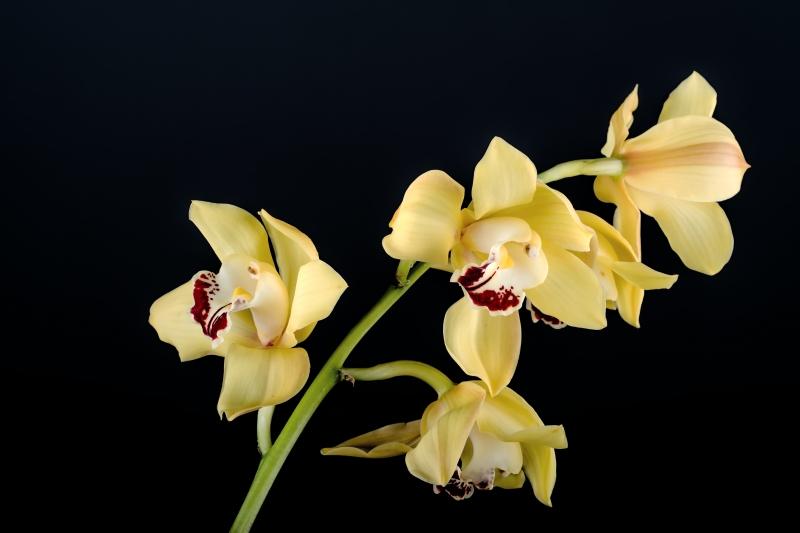 Stampe artistiche quadri e poster con giallo macro orchidea