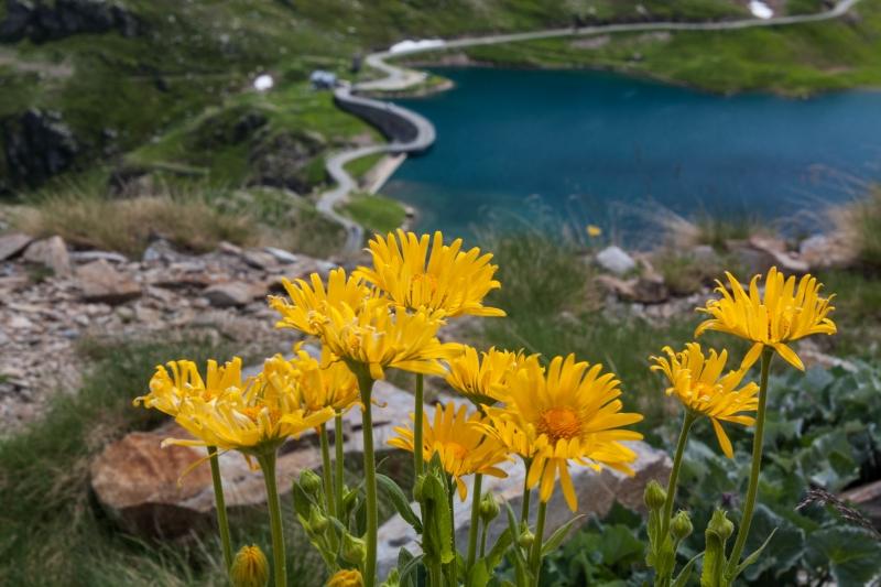 Fiori Gialli Montagna.Stampe Artistiche Quadri E Poster Con Bellezza Naturale Fiori