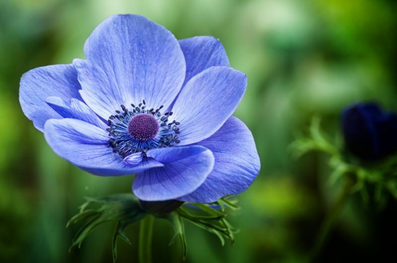 Fiori Blu.Stampe Artistiche Quadri E Poster Con Blu Closeup Coolori