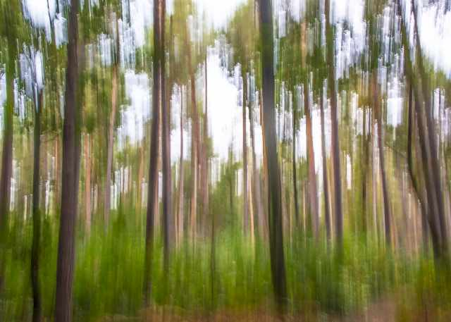 Impressions in the pine forest
