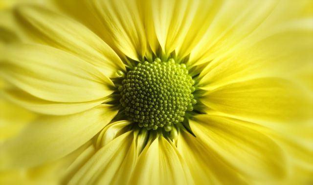 Yellow Daisy Gerbera