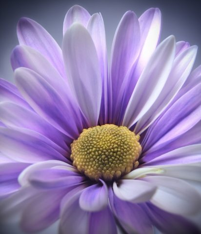 Purple Daisy Gerbera